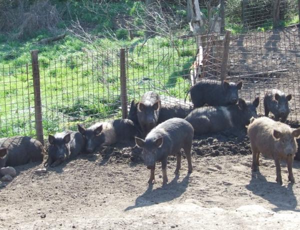 Allarme FAO: animali domestici in via di estinzione